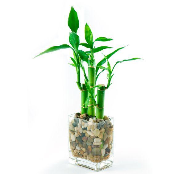 Ý nghĩa phong thủy cây Phát Lộc 3 thân: Mang lại Hạnh phúc - Trường thọ và Sự giàu có