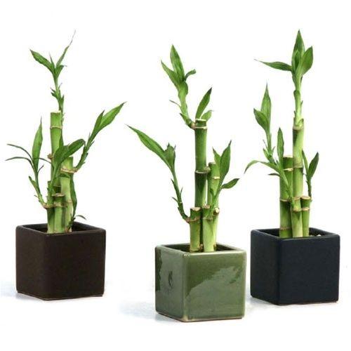 Cây phát lộc trồng vào chậu đen hoặc xanh hợp với thủy hoặc mộc