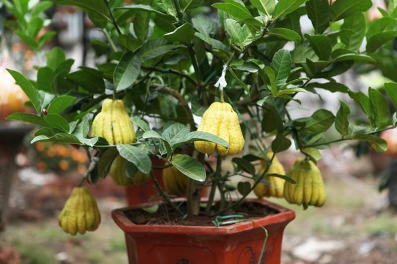 Cây Phật thủ
