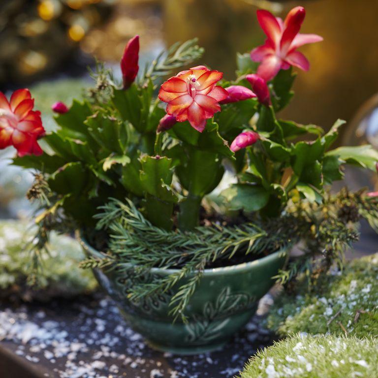 Làm thế nào để chăm sóc cho cây xương rồng Giáng sinh