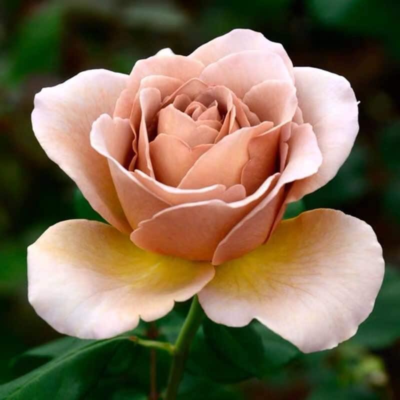 Hoa hồng Coffee Latte