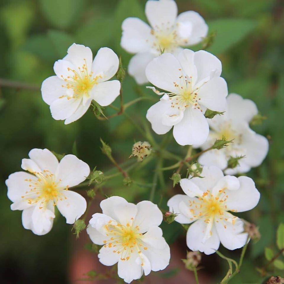 Hoa hồng Darlow's Enigma rose