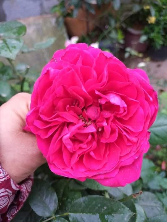 Hoa hồng Royal Palace