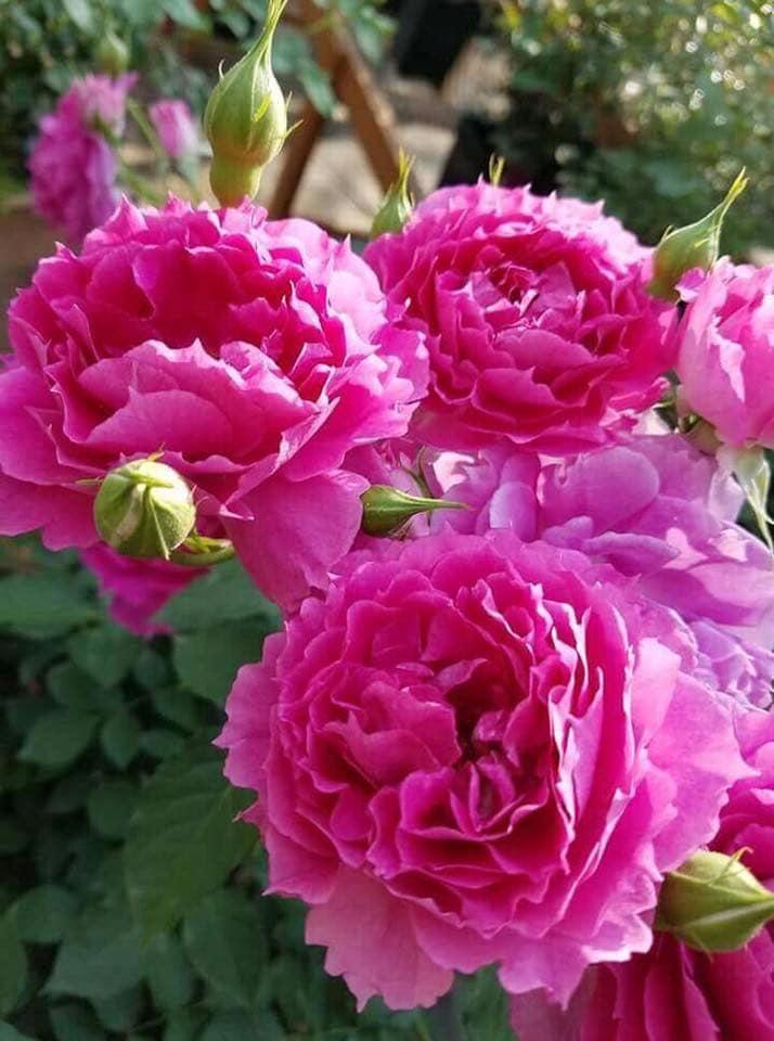 Hoa hồng Sheherazad