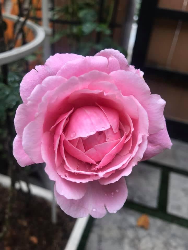 Hoa hồng Soeur Emmanuelle Rose