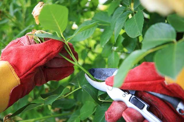 Cách chăm sóc cây hoa hồng – tỉa cành