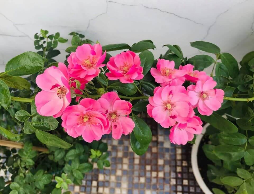 Hoa hồng Angela