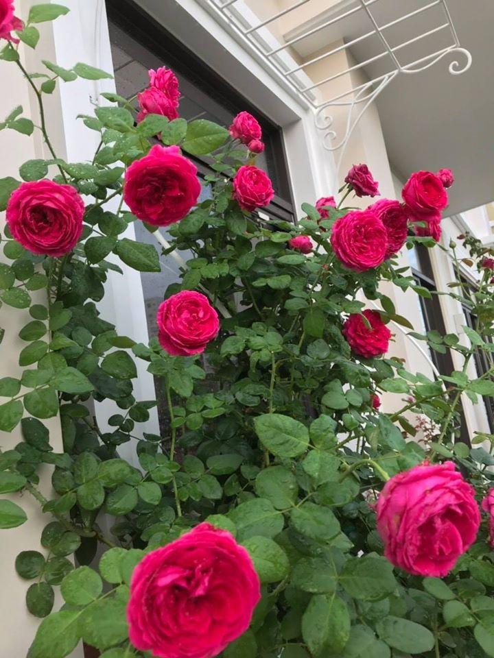 Hoa hồng Pas De Deux