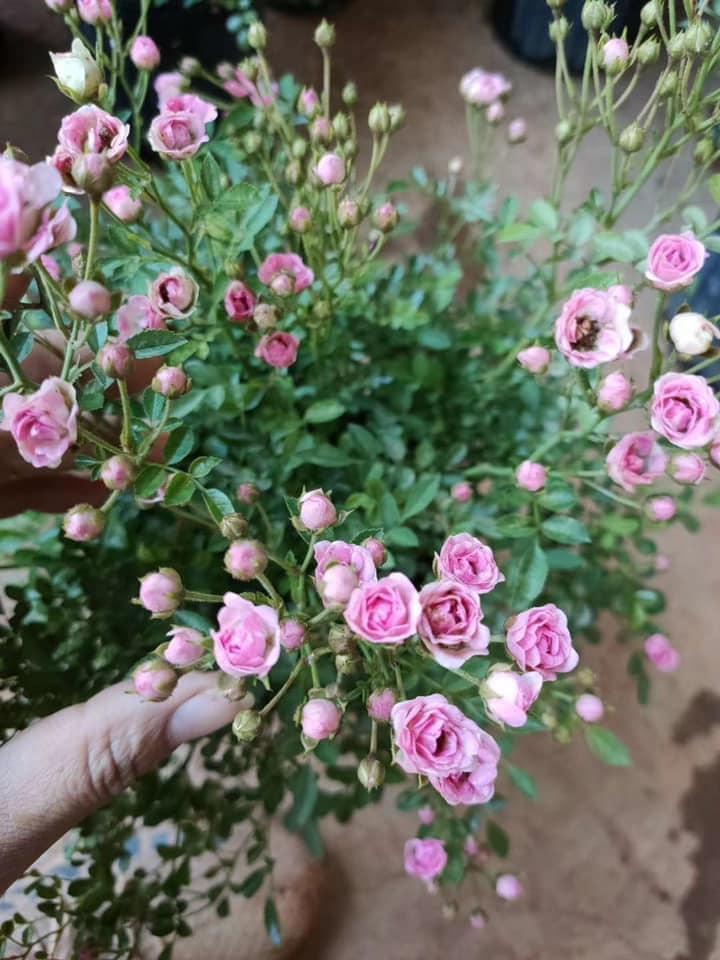 Hoa hồng Pink Pong