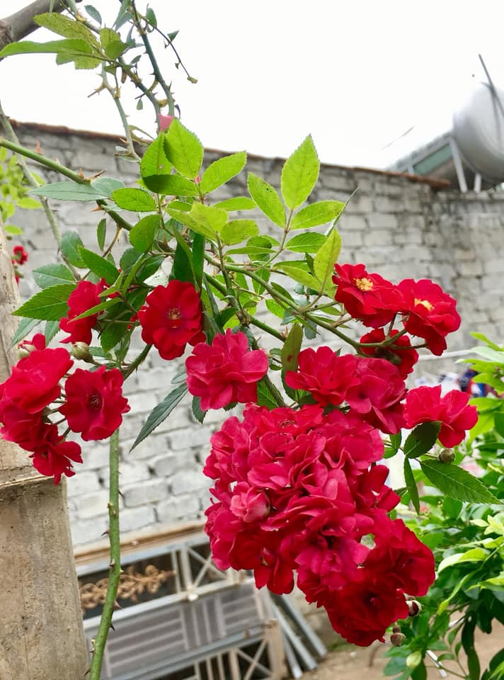 Hoa hồng Red fairy