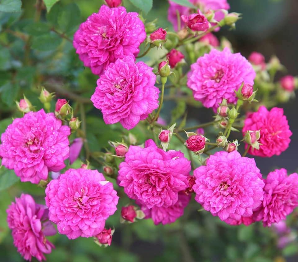Hoa hồng Sweet Chariot rose
