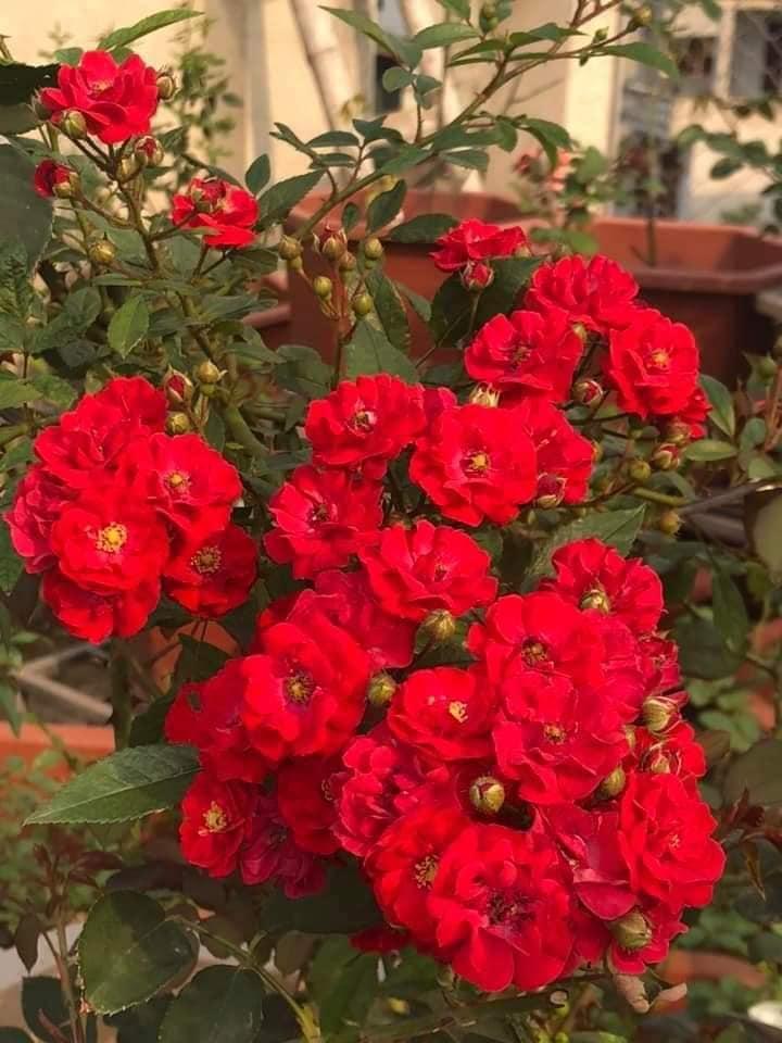 Hoa hồng leo Red fairy