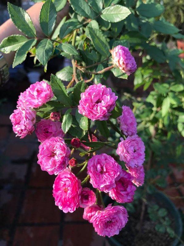Hoa hồng Vineyard Song