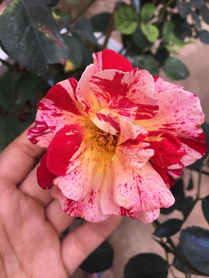 hồng Julio