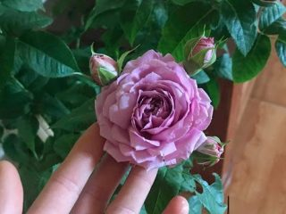 Hoa hồng ngoại Blue SkyRose. Cách trồng và chăm sócnnhư nào cho sai hoa và khoẻ mạnh?