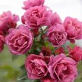 HOA HỒNG HỒNG NGOẠI AOI ROSE NHẬT BẢN - HOA HỒNG BỤI SIÊU ĐẸP