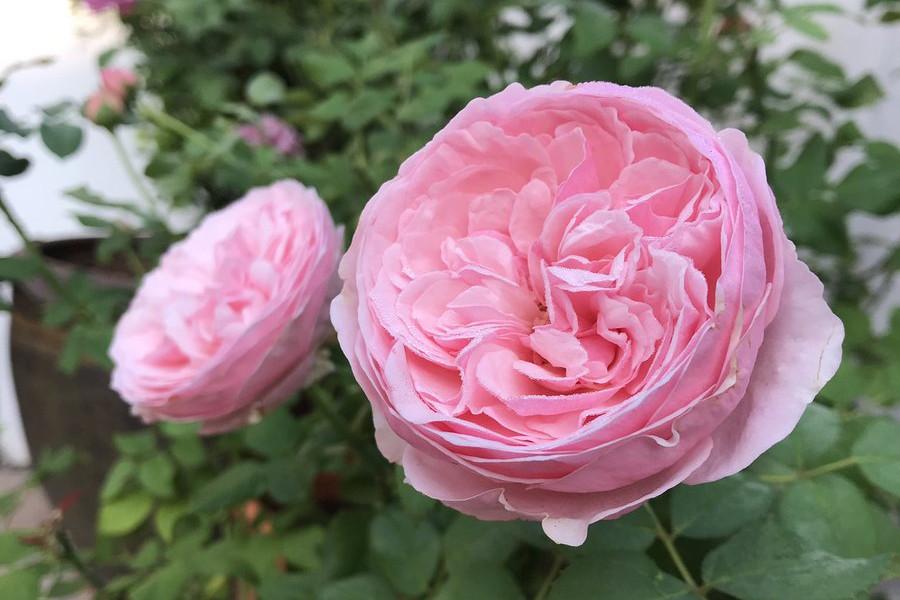 HOA HỒNG CẮT CÀNH CAREY ROSE (AUSWEATHER) - KINH NGHIỆM TRỒNG VÀ CHĂM SÓC TỐT NHẤT