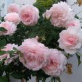 Hoa hồng ngoại Misaki Rose – Kỹ thuật trồng và chăm sóc đơn giản