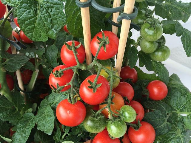 Tăng khả năng chống sâu bệnh cà chua