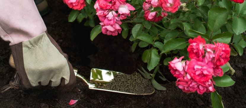 10 loại phân bón và cách tự phân bón cho hoa hồng có sẵn trong nhà bếp