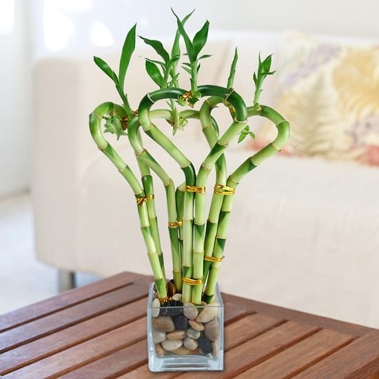 Cây phát lộc - Các loại cây trồng trong nhà phổ biến bạn có thể trồng trong bình