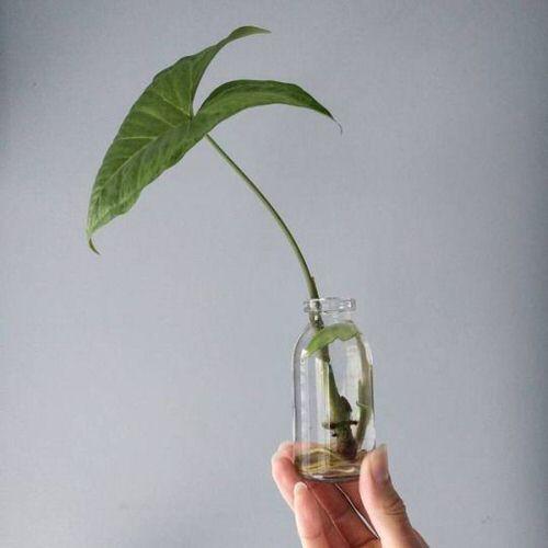 Cây tróc bạc - Các loại cây trồng trong nhà phổ biến bạn có thể trồng trong bình