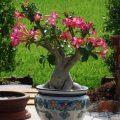 Chăm sóc cây hoa sứ | Mẹo chăm sóc cây Hoa Sứ (Hoa hồng xa mạc]