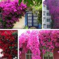 8 Bí Quyết Chăm Sóc Hoa Giấy | Cách chăm sóc cây hoa giấy
