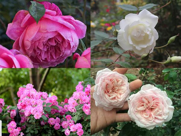 11 mẹo tuyệt vời giúp hoa hồng nở to đẹp và thơm hơn