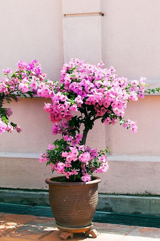 chăm sóc hoa giấy