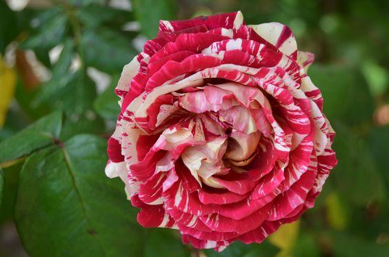 Hoa hồng ngoại Julio Iglesias - Hoa hồng Pháp sọc đỏ Siêu Đẹp