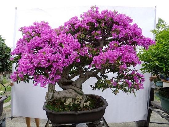 Mẫu Bonsai đẹp
