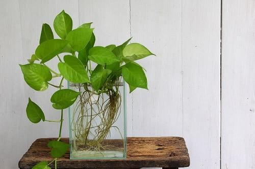 Vạn niên thanh bò - Cây trong nhà phổ biến bạn có thể trồng thủy sinh